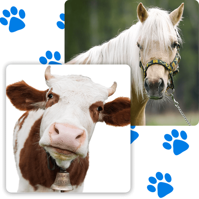 horse and cow