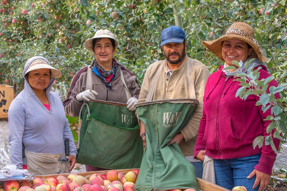 Apple Pickers Photographer Washington State.jpg
