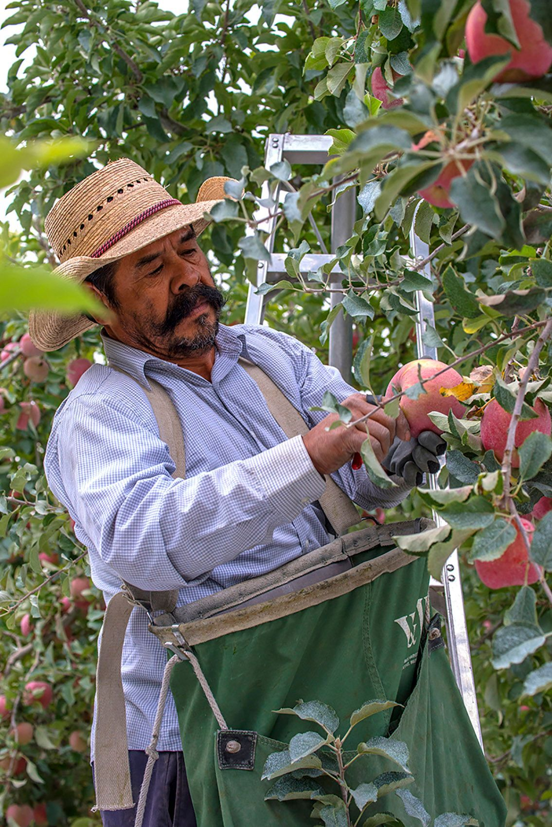 Farm worker picks the fruit