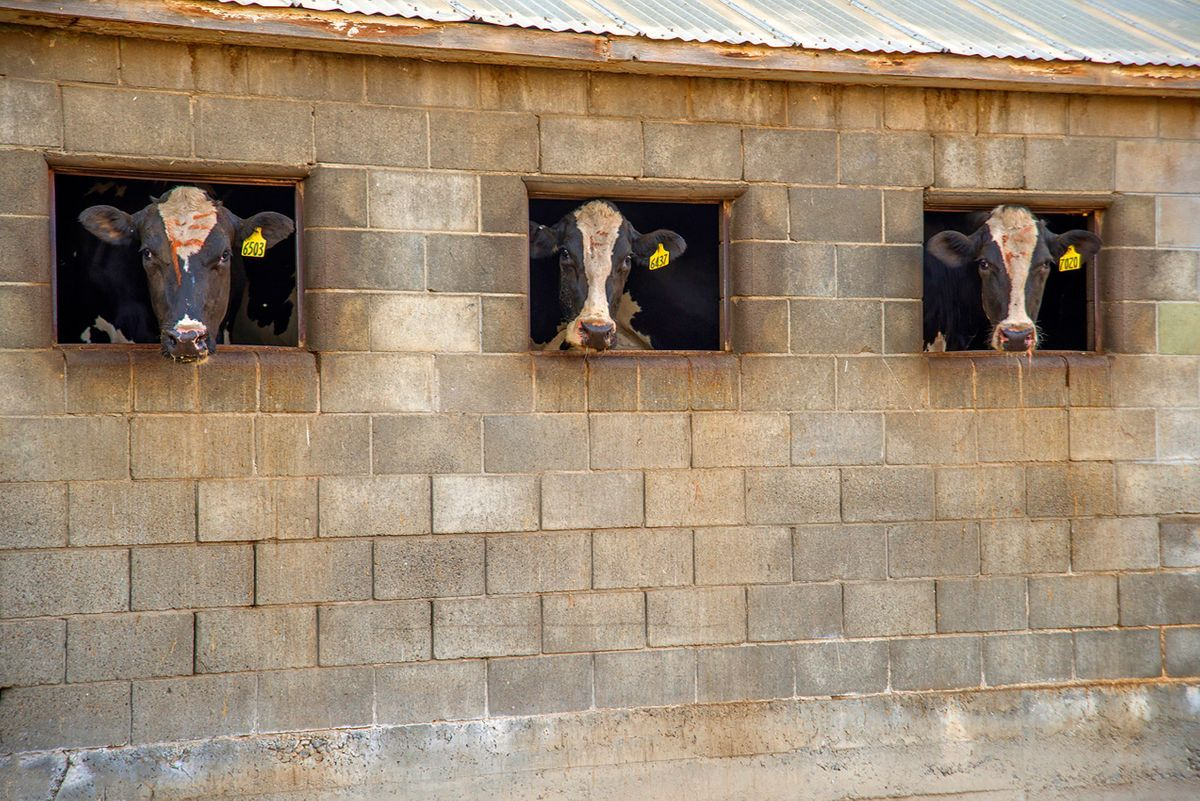 The cows look out at the other cows during their milking sessions