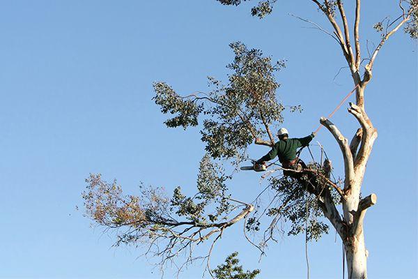 Arborist in tree cutting branches