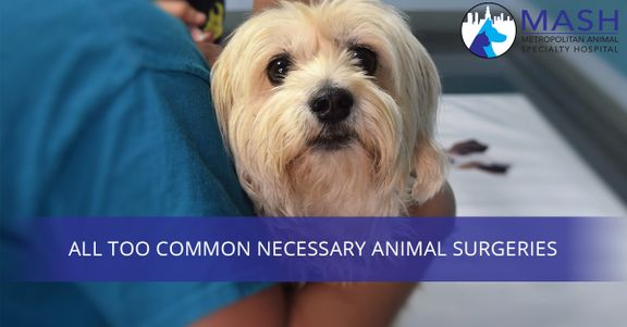 All-Too-Common-Necessary-Animal-Surgeries-59482429f1f02.jpg