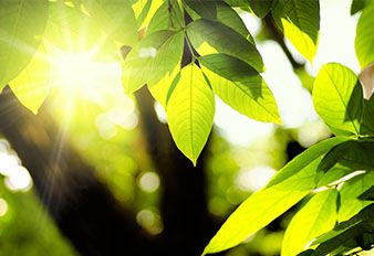 Tree leaves with sun shining through