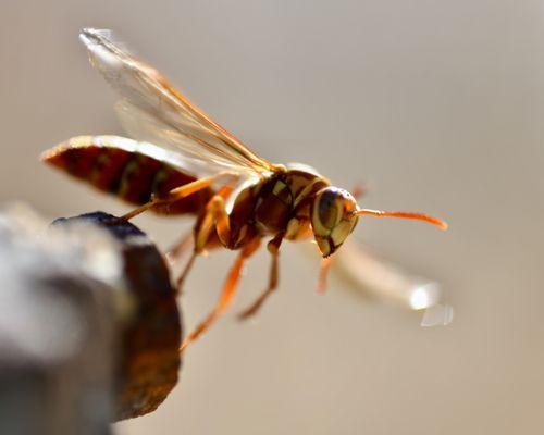 Stinging Pests