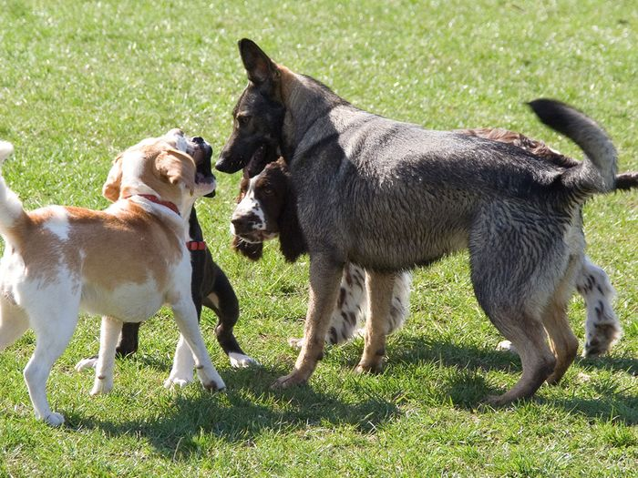 Four dogs playing together.