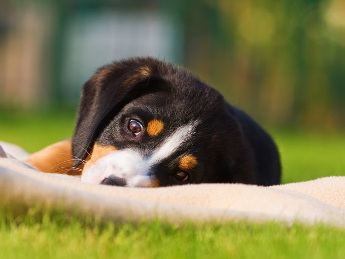 Black, brown, and white puppy laying in the grass.