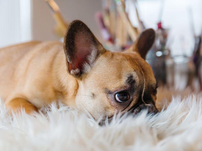 Bulldog laying on a fuzzy rug.