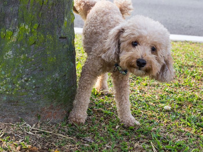 Poodle peeing on a tree trunk.