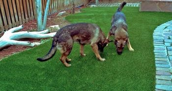 artificial_turf_dog_areas_runs_plushgrass_two_dogs.jpg