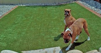 artificial_turf_dog_areas_runs_plushgrass_two_boxers.jpg