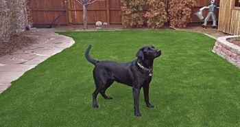 artificial_turf_dog_areas_runs_plushgrass_black_lab.jpg