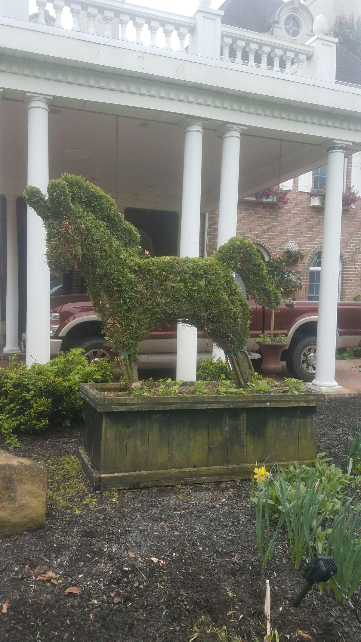shrub pruned into horse.JPG