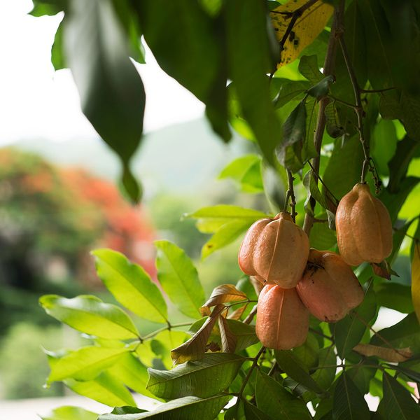 A tree bearing the ackee fruit, popular in Jamaican dishes.