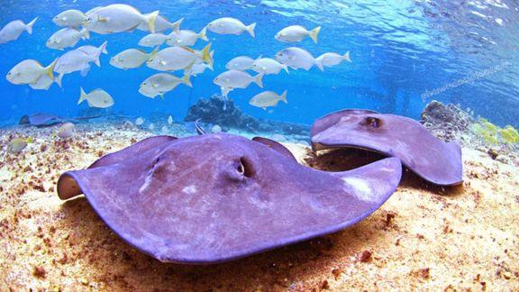 Purple stingrays.jpg