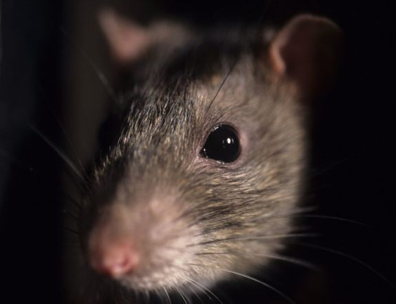 Mouse Closeup