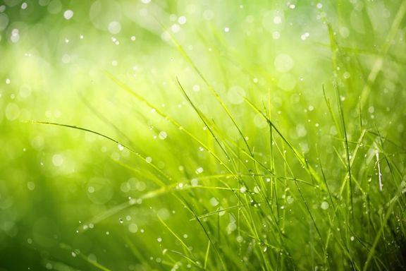 Grass and Dew Closeup