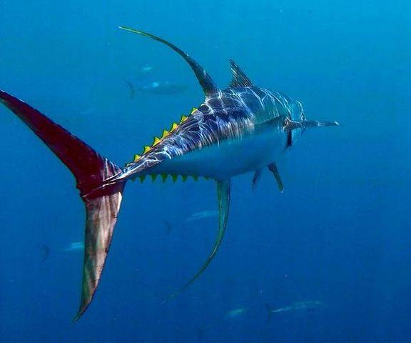 yellowfin-5fa82bd65dfb6.jpg
