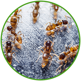 fire-ants.png