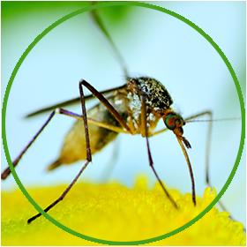 mosquitos.png