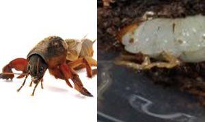 mole crickets_grubs 2.jpg