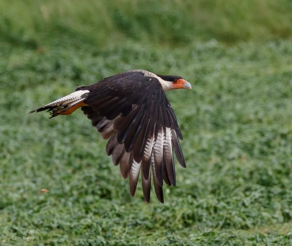 CaraCara bird.JPG