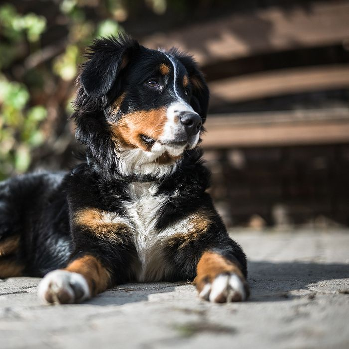 JM Kennels is a professional Colorado dog breeder with over 30 years of breeding bernedoodle, standard poodle, and a Bernese mountain dogs