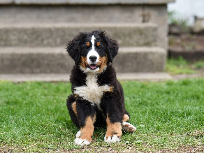 bernedoodles come in standard, mini, and tiny sizes
