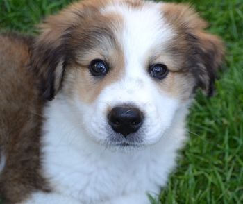 Peyton-puppy-500.jpeg