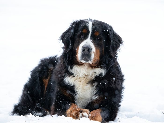 bernedoodles are a mix of a bernese mountain dog and a poodle