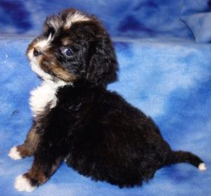 miniature bernedoodle puppies for sale