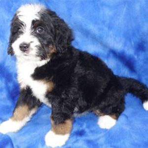 Available Puppies_Section4_6