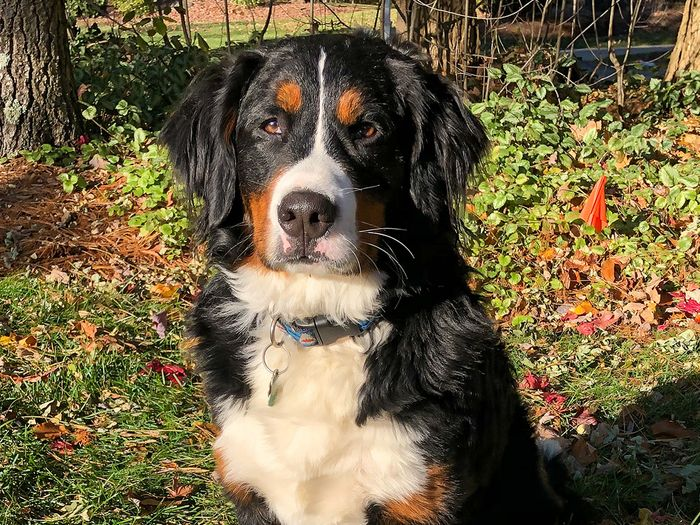 bernedoodles tend to live longer than bernese mountain dogs