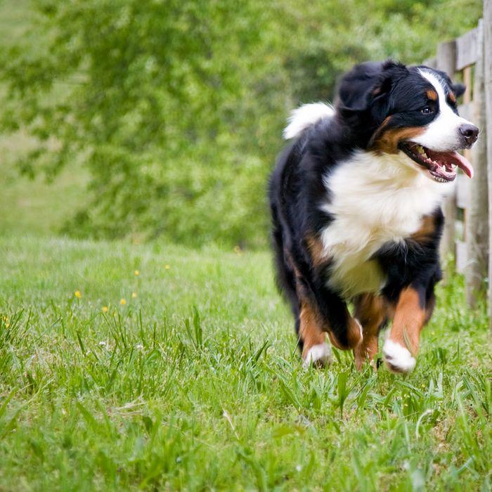 JM Kennels is a Colorado dog breeder offering bernedoodles, Bernese mountain dogs, and standard poodles
