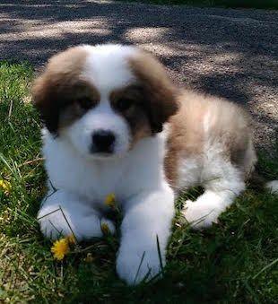 Great-Bernese-puppy.jpeg