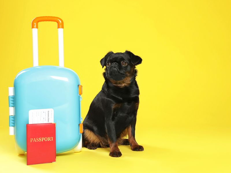 Adorable black Petit Brabancon dog with ticket and passport near the suitcase