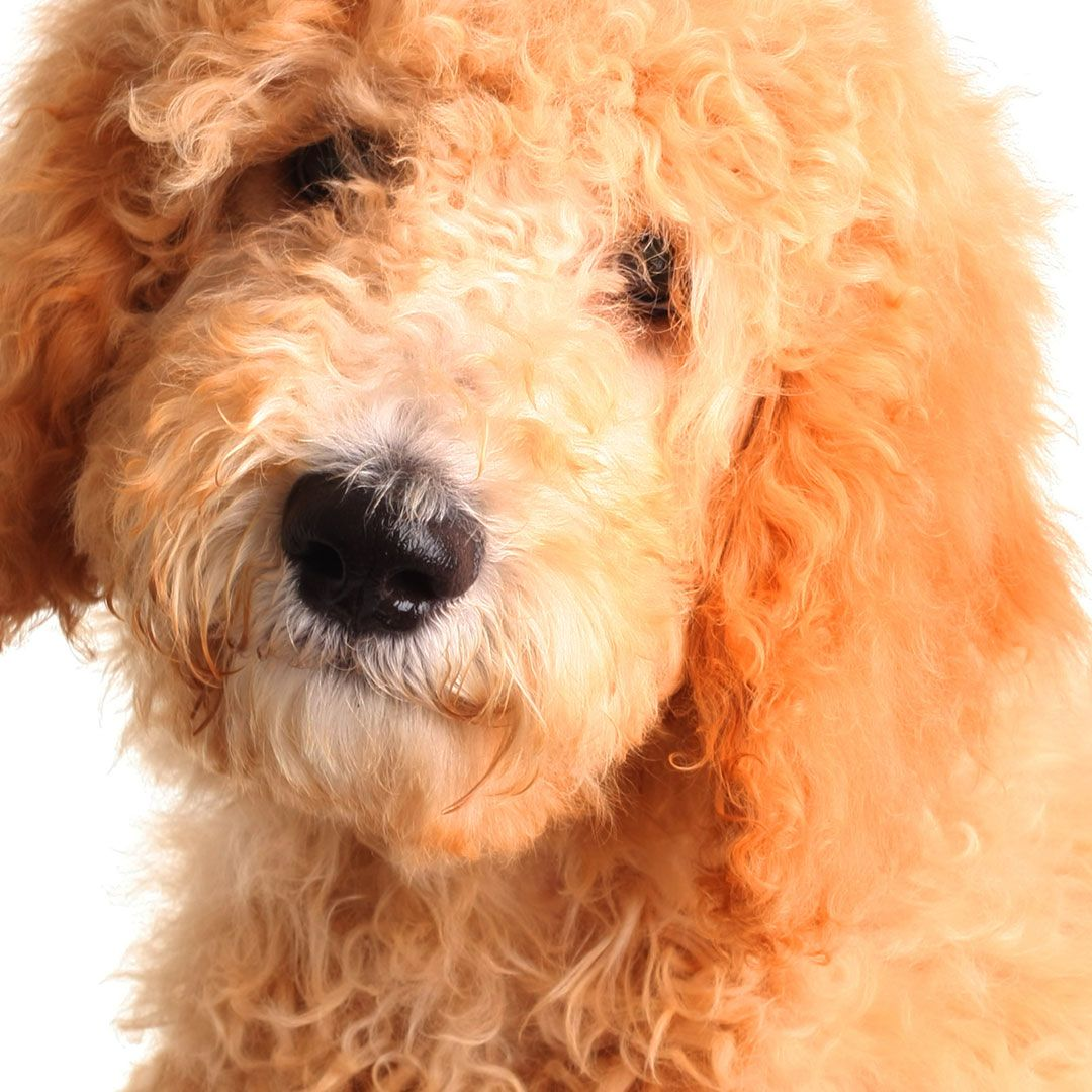 Golden doodle puppy.