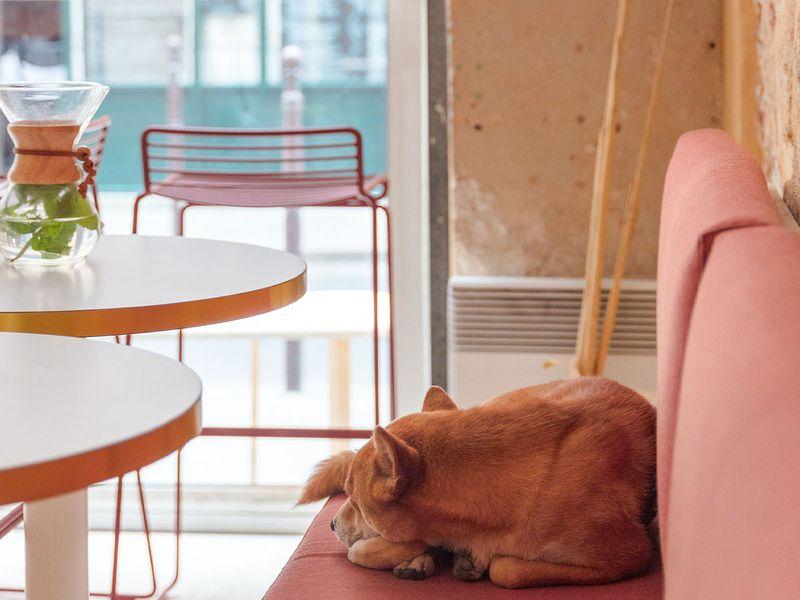 Adorable Shibu resting on a bench inside a pet friendly restaurant