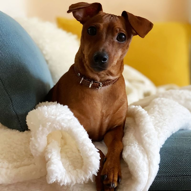 Puppy dog sitting on blue sofa with yellow pillow