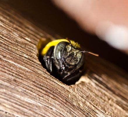carpenter-bee-in-exit-hole.jpg