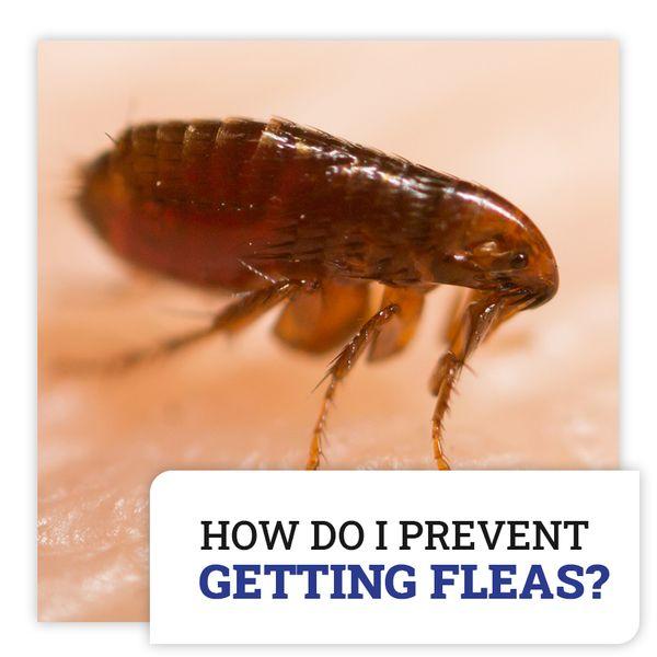 fleas image.jpg