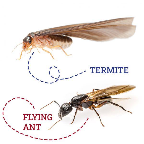 termite-vs-flyingant.jpg