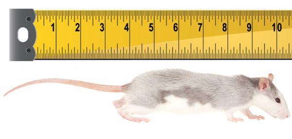 rat-lengtch.jpg