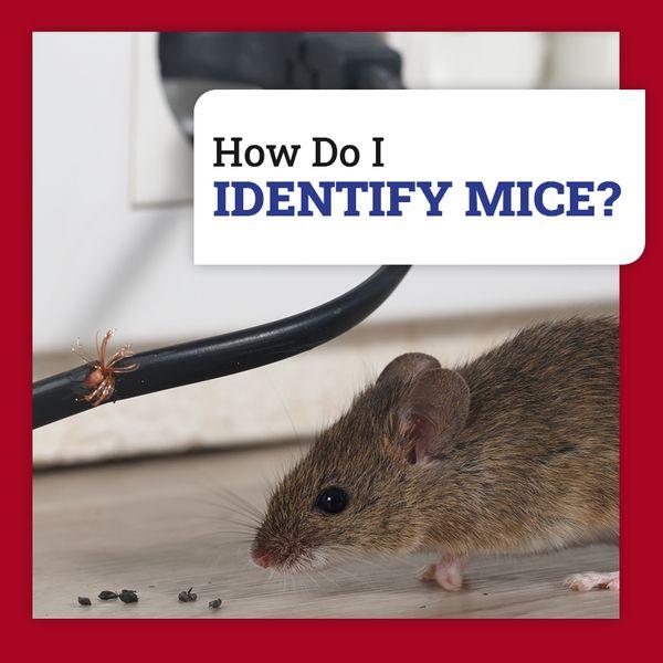 identify mice.jpg