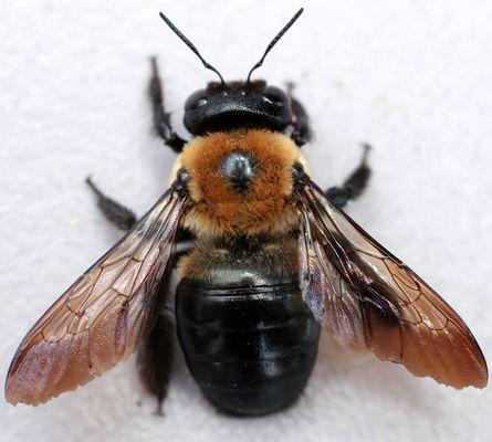 carpenter-bee-close.jpg