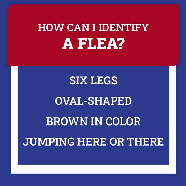 fleas fact.jpg