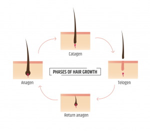 Diagram of Phases of Hair Growth