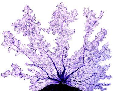 Purple Fan Coral-min.jpg