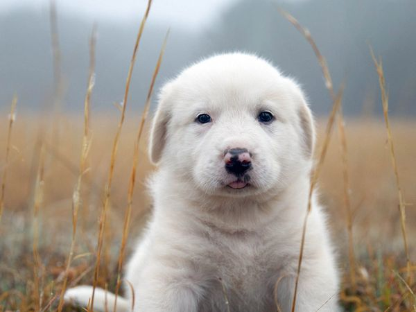 An image of a white Golden Retriever puppy sitting outside in a field of tall grass.