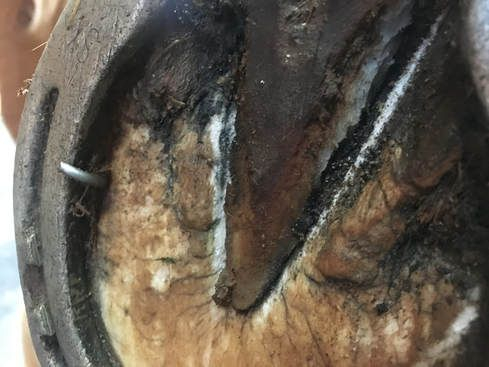 Image of Puncture Wound in Horse's Hoof