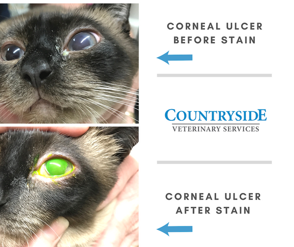 Image of a corneal ulcer before and after stain